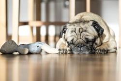 dog having a nap